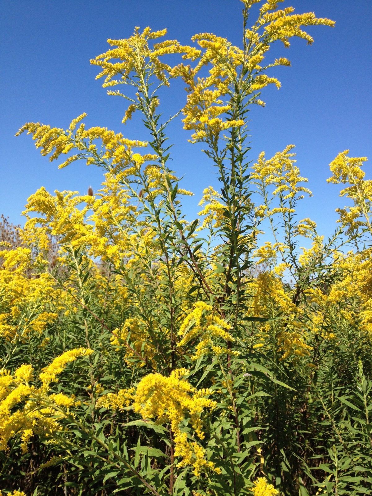 The Goldenrod Proclaims Its Crown And The Bees Fulfill Their Mission.